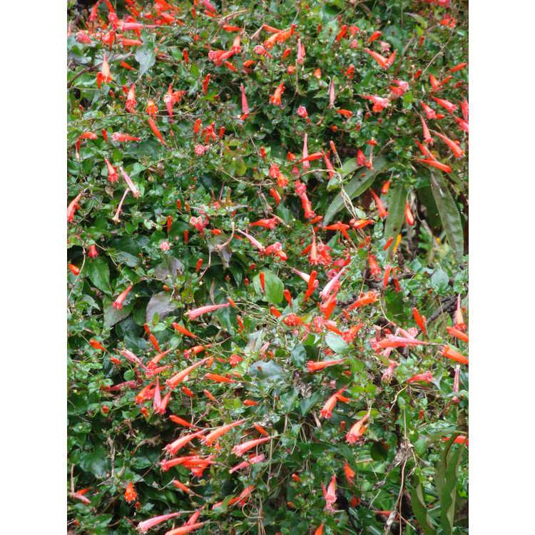Manettia cordifolia