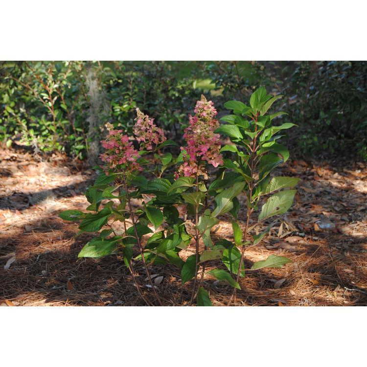 Hydrangea paniculata 'DVP Pinky' - Pinky Winky panicled hydrangea