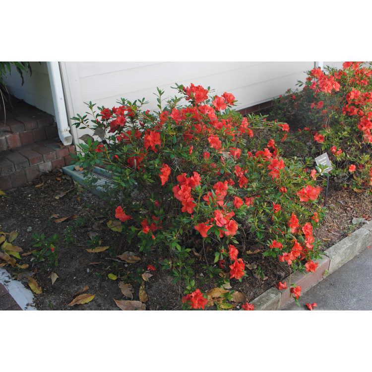 Rhododendron 'Fashion'