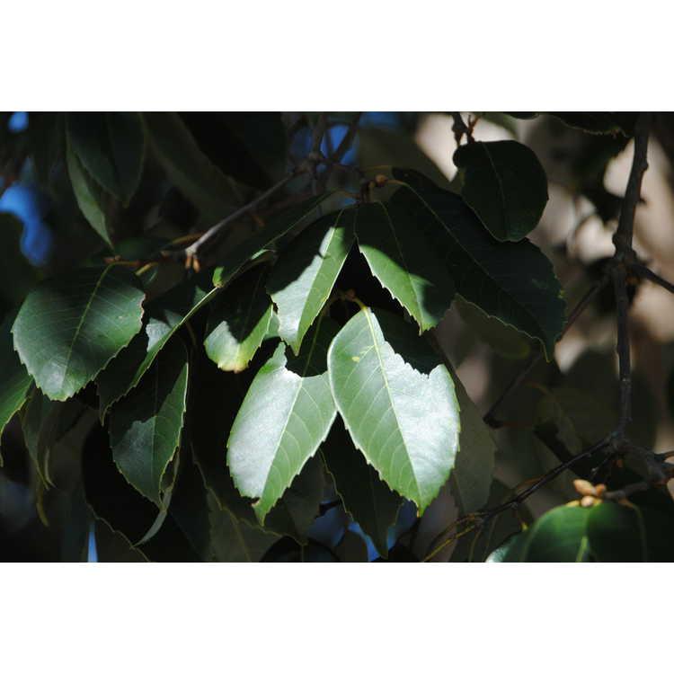 Castanopsis delavayi - Delavay's chinquapin