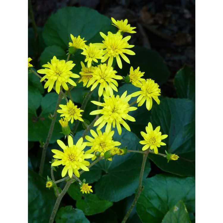Farfugium japonicum 'Jitsuko's Star' - double-flowered leopard plant