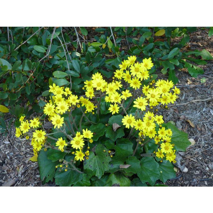 Farfugium 'Last Dance' - leopard plant
