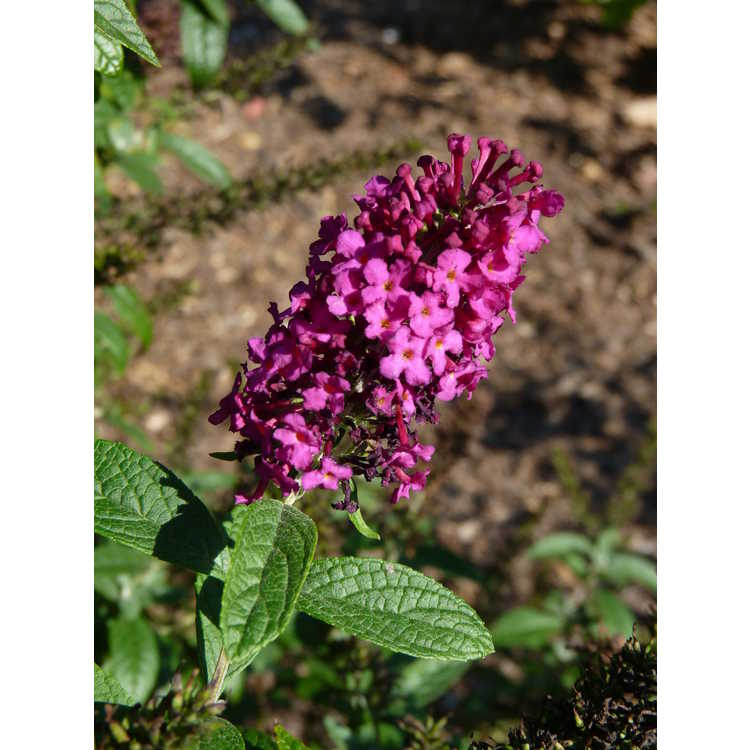 Buddleja 'Miss Molly' - butterfly-bush