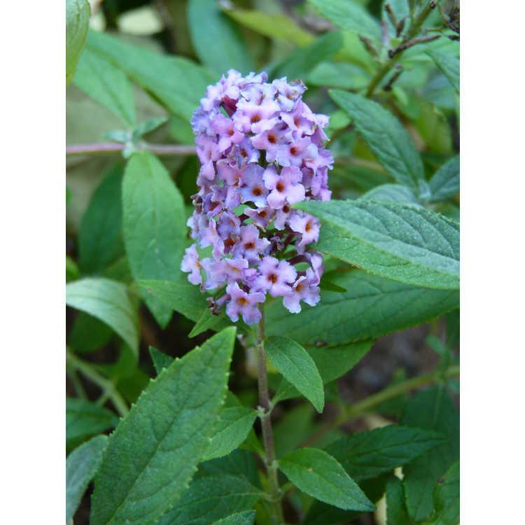 Buddleja 'Lilac Chip'