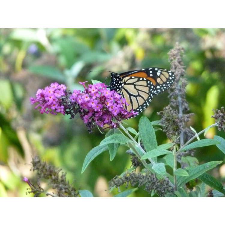 Buddleja 'Miss Ruby' - compact butterfly-bush
