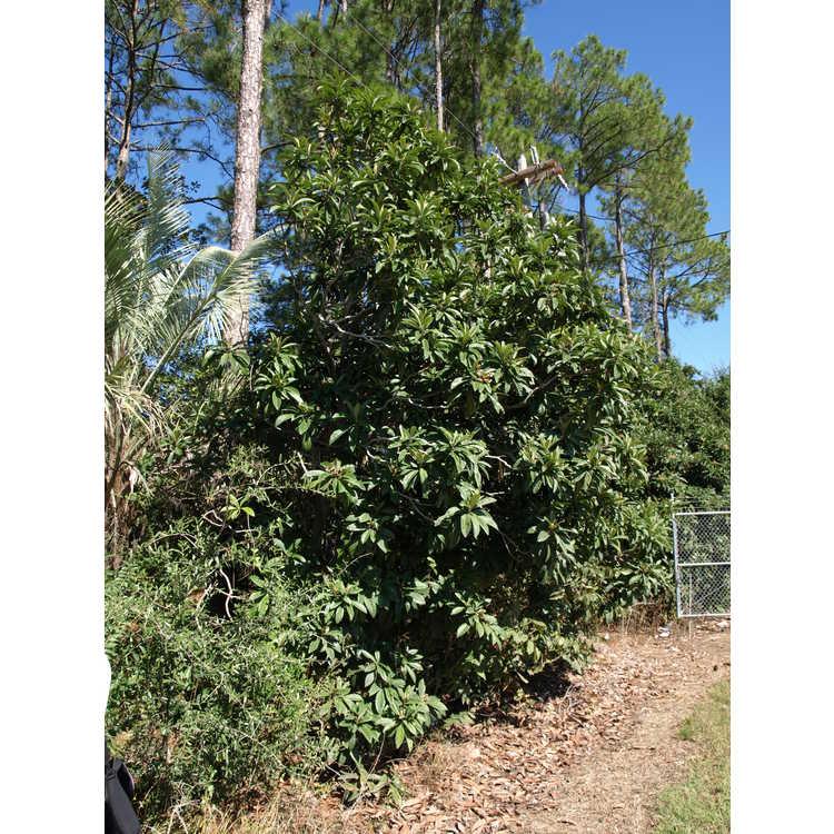 Eriobotrya japonica - loquat