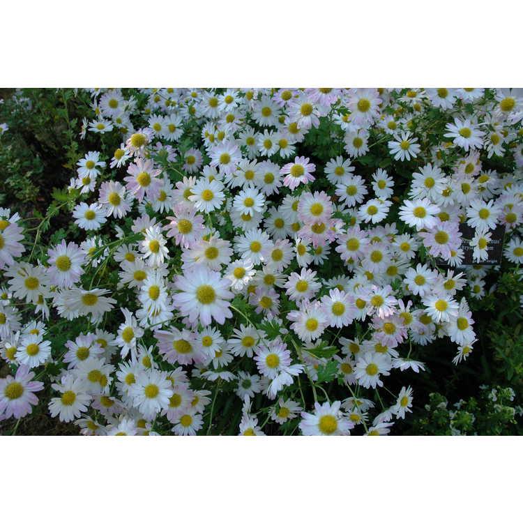 Chrysanthemum 'Venus' - garden chrysanthemum