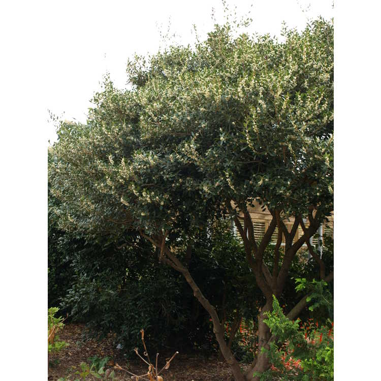 Osmanthus heterophyllus 'Purpureus' - purple-leaf holly tea-olive