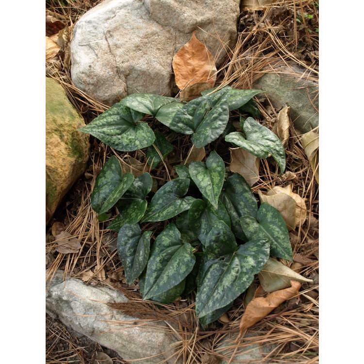 Asarum kumageanum - Japanese wild ginger