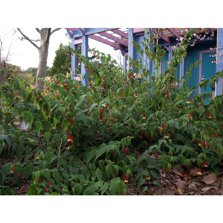 Abutilon megapotamicum 'Little Imp'