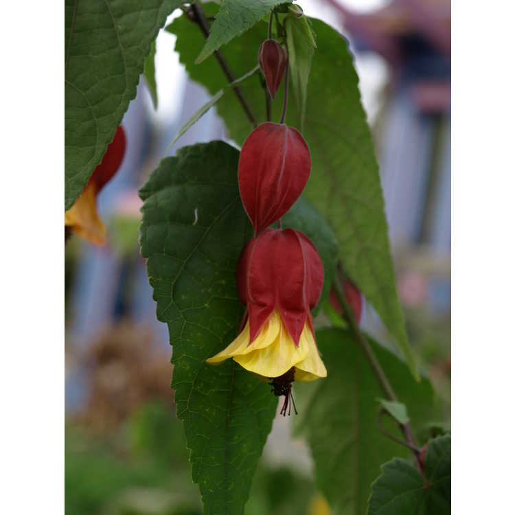 Abutilon megapotamicum Little Imp