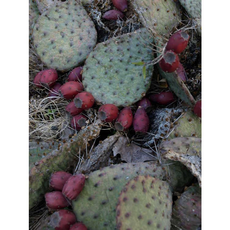 Opuntia polyacantha f. rosaeflora - Plains prickly-pear