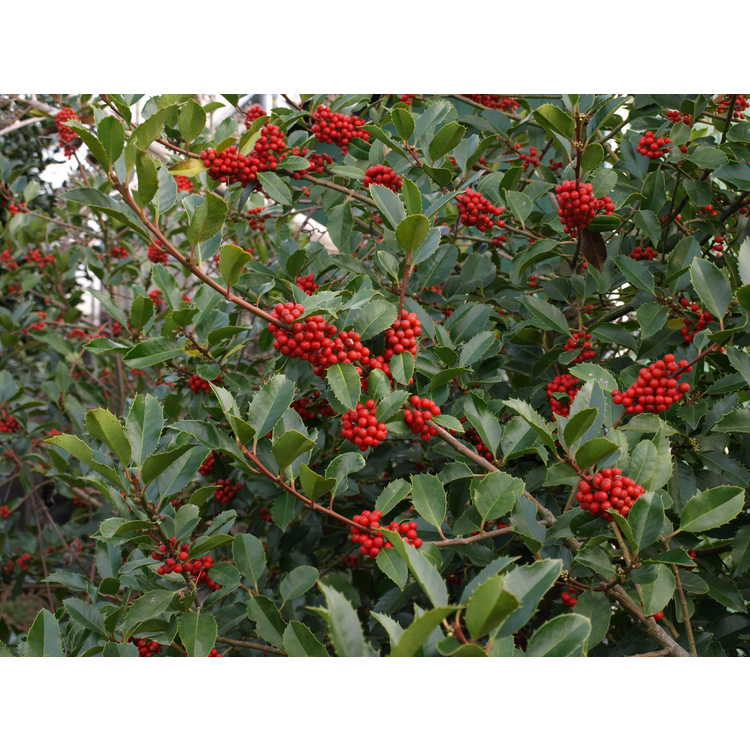 Ilex ×koehneana 'Wirt L. Winn' - Koehne holly