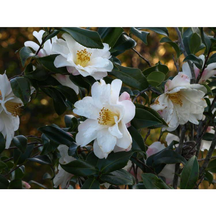 Camellia vernalis Ginryu
