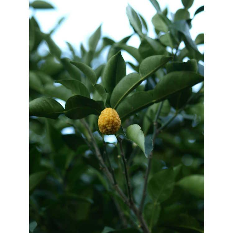 Citrus cavaleriei - Ichang lemon