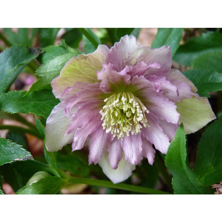 Helleborus hybridus double flower