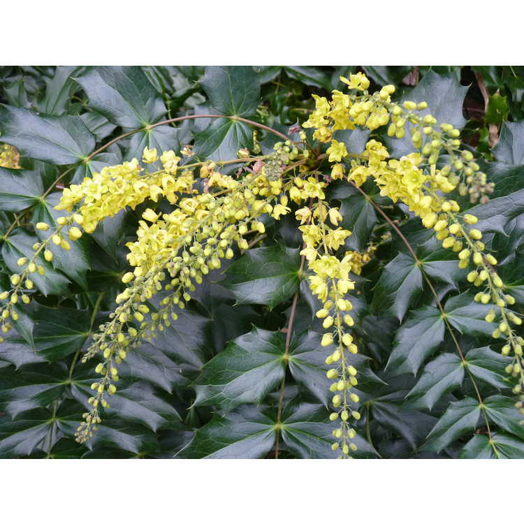 Mahonia ×lindsayae 'Cantab' - hybrid mahonia