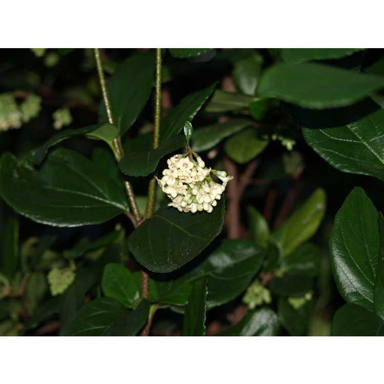 Viburnum suspensum - Sandankwa viburnum