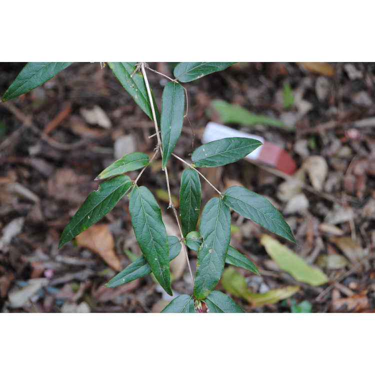 Lonicera standishii var. lancifolia