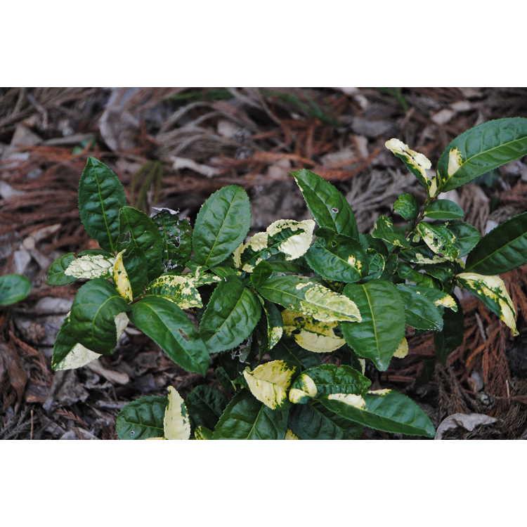 Camellia sinensis 'O. Kuntze' - variegated tea