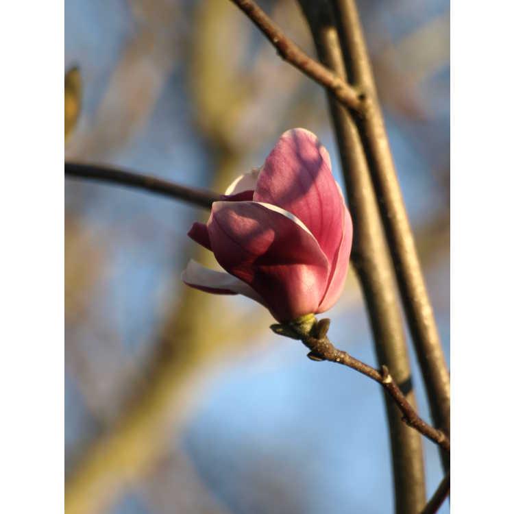 Magnolia ×soulangeana 'Sundew' - saucer magnolia