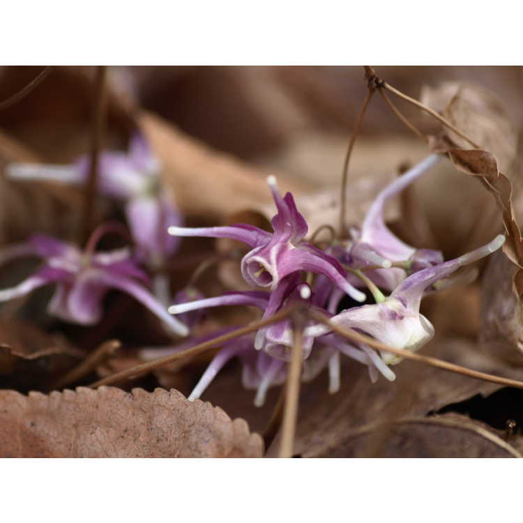 Epimedium grandiflorum 'Purple Pixie' - bishop's hat