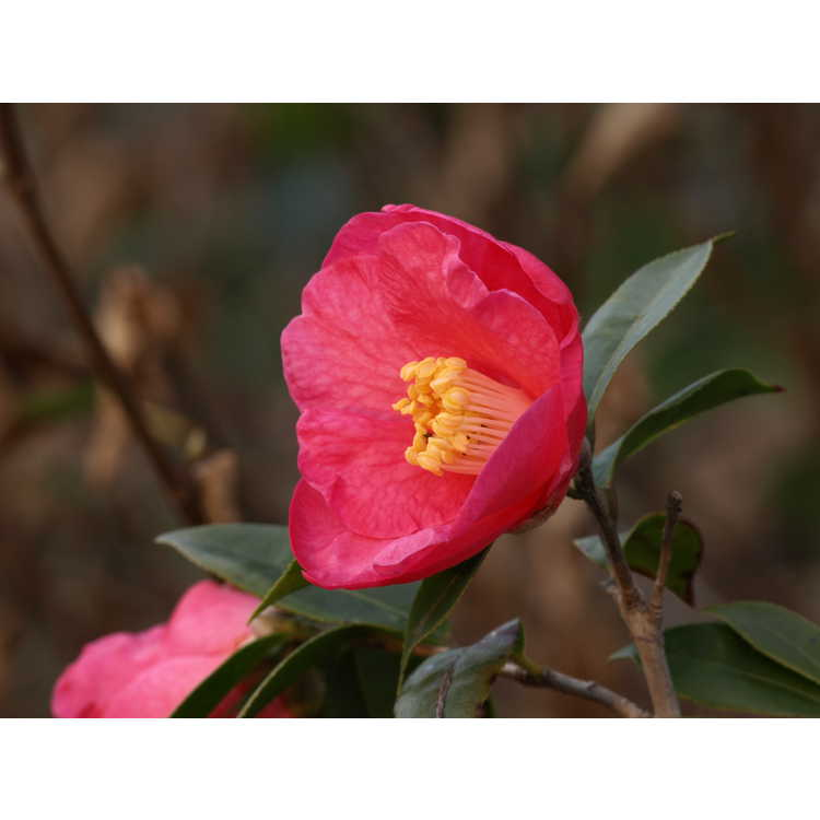 Camellia Crimson Candles