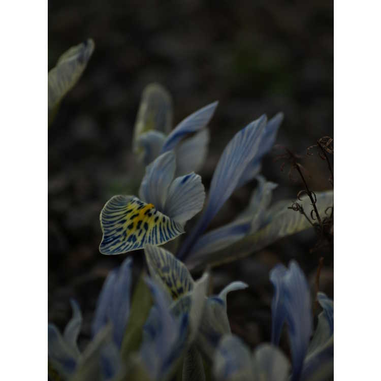 Iris [Reticulata Group] 'Katherine Hodgkin' - hybrid reticulate iris