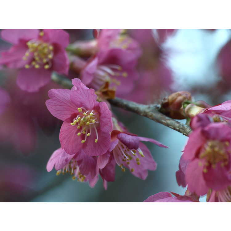 Prunus First Lady