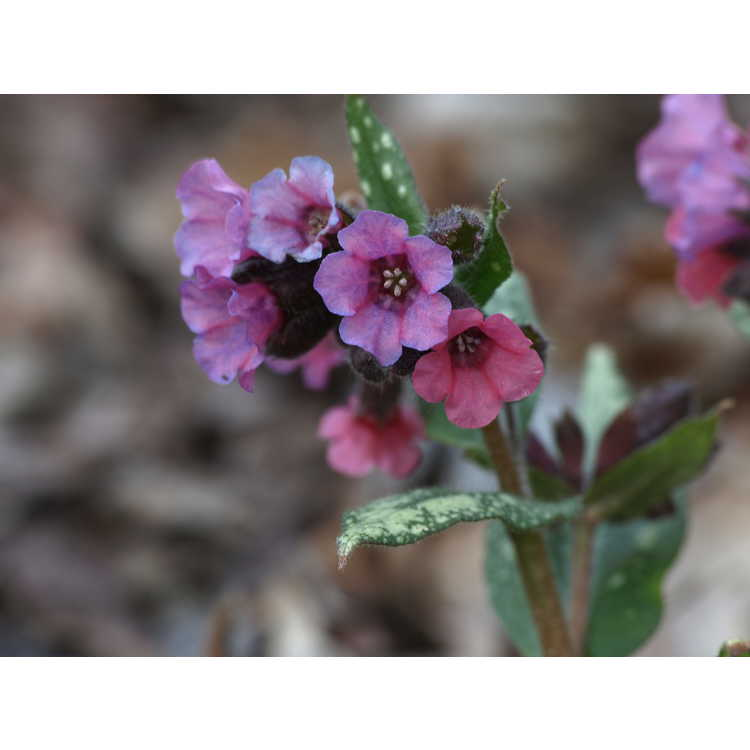 Pulmonaria 'Silver Bouquet' - lungwort