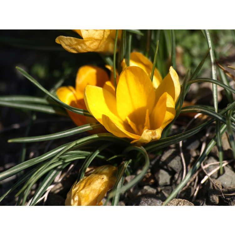 Crocus flavus Golden Yellow