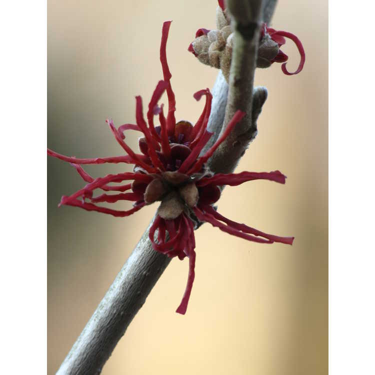 Hamamelis intermedia Twilight
