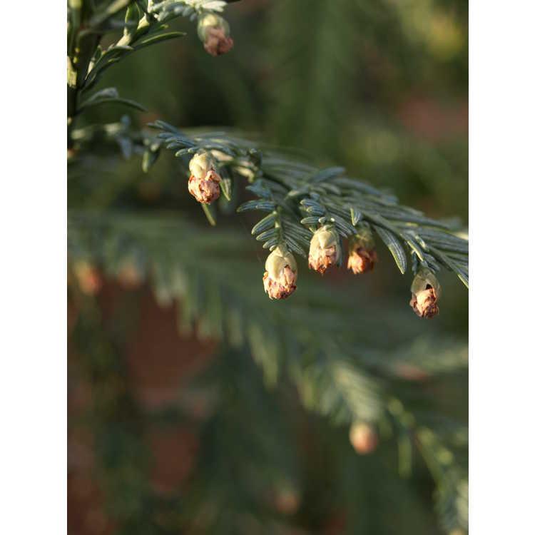 Sequoia sempervirens 'Henderson Blue' - blue coastal redwood
