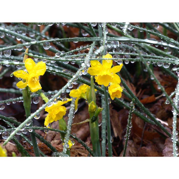 Narcissus fernandesii - Fernandes daffodil