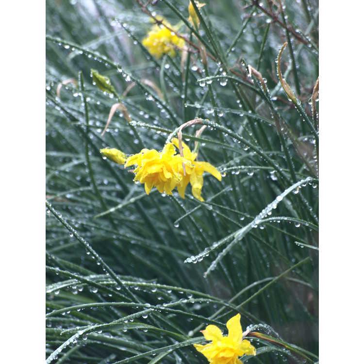 Narcissus jonquilla Flore Pleno