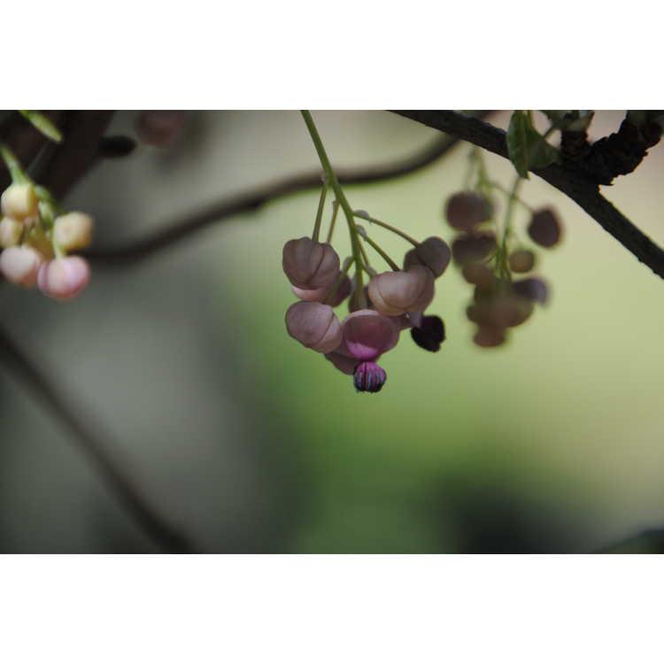 Akebia quinata 'Kohin Nishiki' - variegated chocolate vine