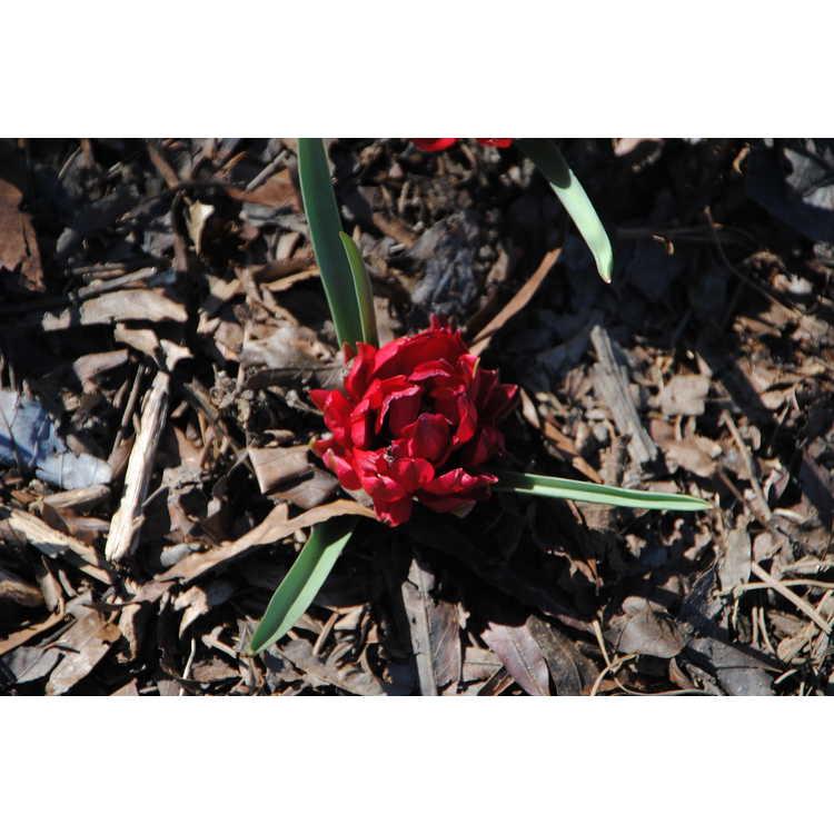 Tulipa humilis var. pulchella 'Tete-a-Tete'