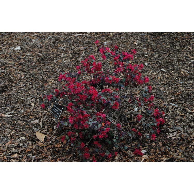 Loropetalum chinense rubrum Chang Nian Hong Ever Red