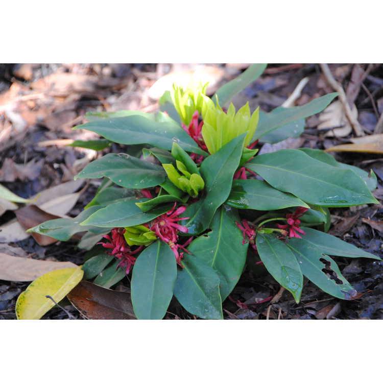 Illicium floridanum 'Swamp Hobbit'