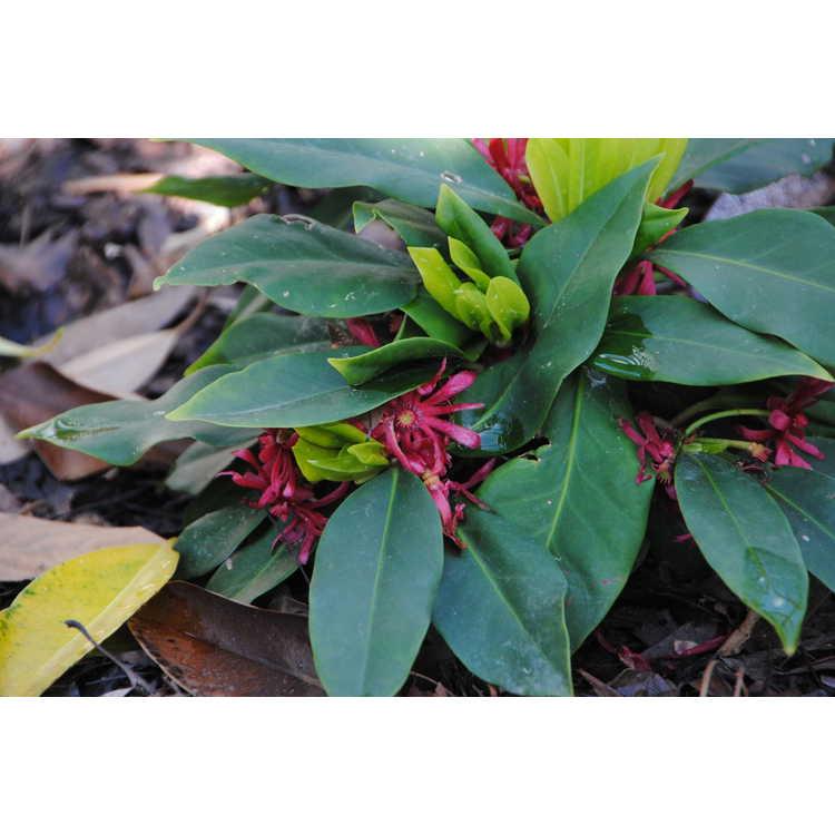 Illicium floridanum Swamp Hobbit