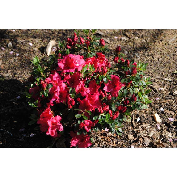Rhododendron 'Rlh1-1p2'