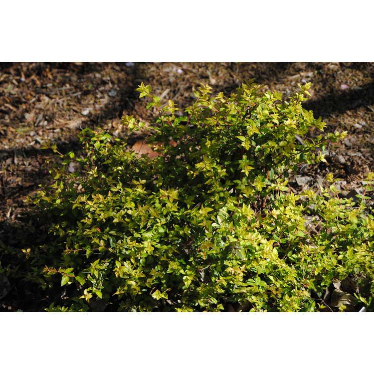 Abelia parvifolia 'Saxon Gold'