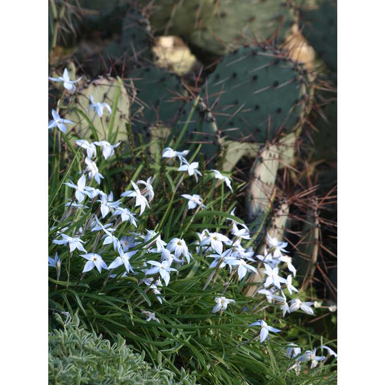 Ipheion uniflorum 'Wisley Blue' - spring star flower