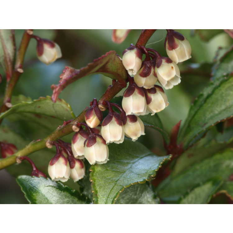 Eurya japonica 'Moutiers' - variegated eurya