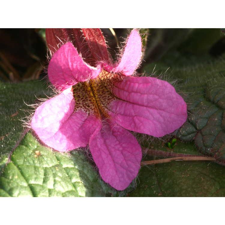 Rehmannia chingii - Chinese foxglove