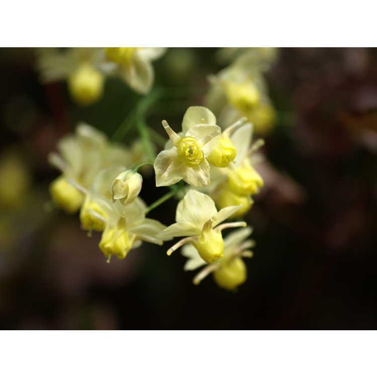 Epimedium ×versicolor 'Sulphureum' - fairy wings