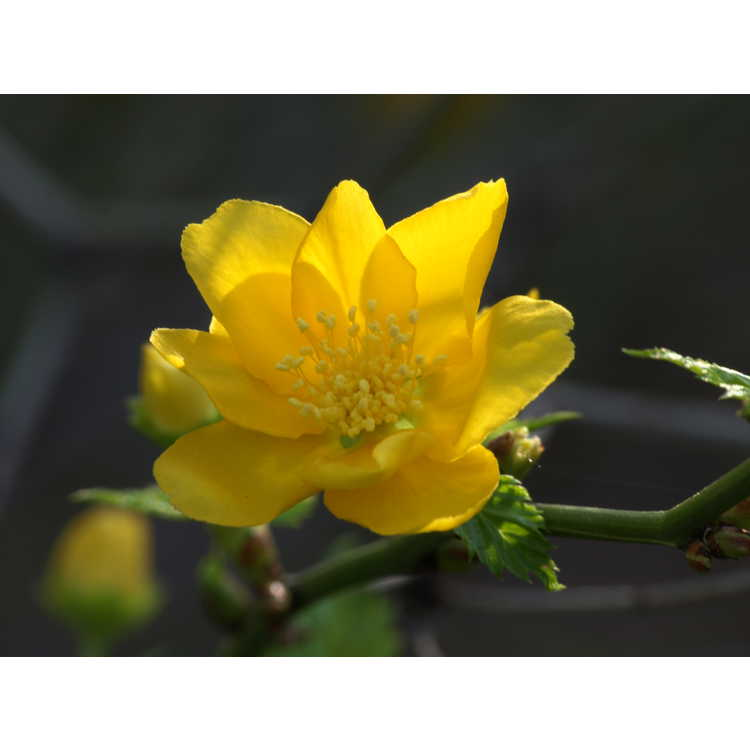 Kerria japonica Chiba Gold