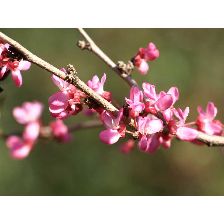 Cercis chinensis Shibamichi Red
