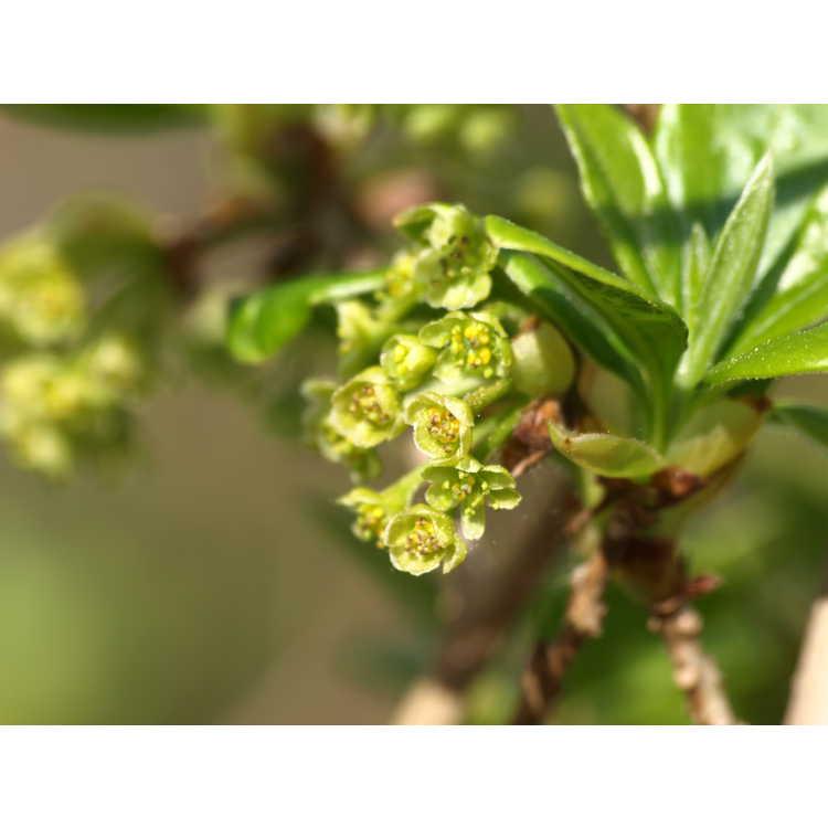 Lindera erythrocarpa - red-fruited spicebush