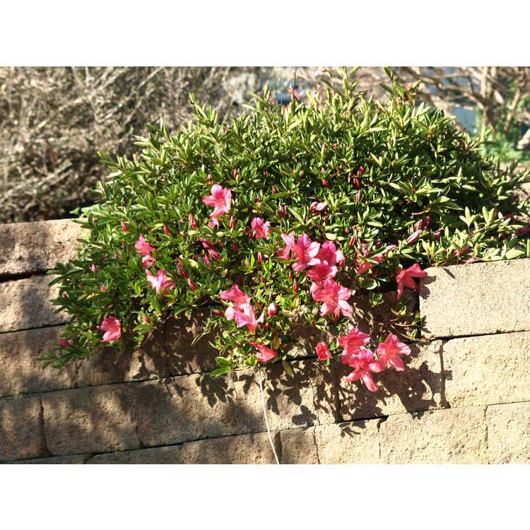 Rhododendron 'Gulf Shore' - azalea